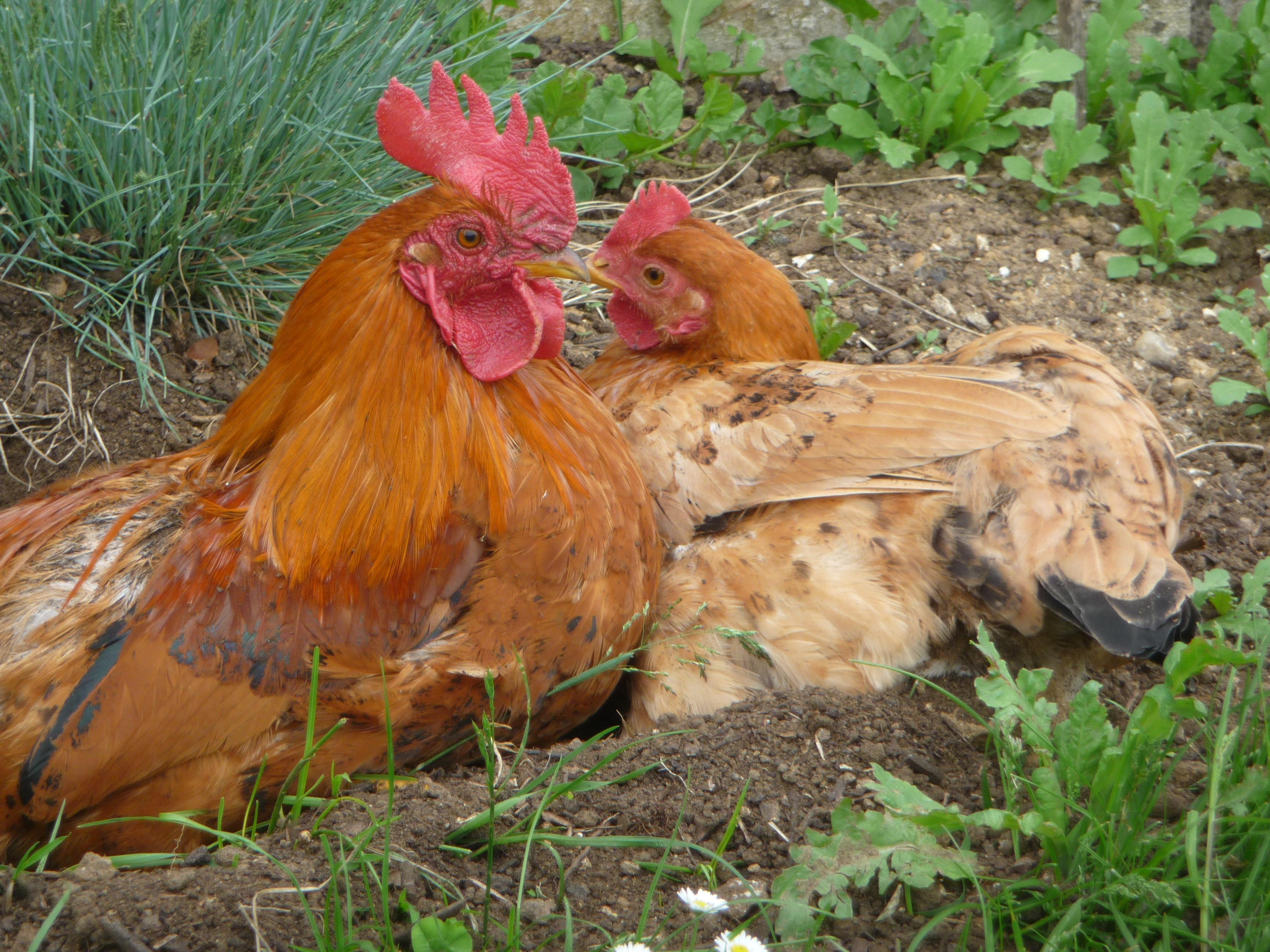 Mettre Des Poules Dans Son Jardin quelques conseils pour démarrer un élevage de poules