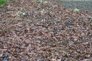 Les feuilles mortes au potager