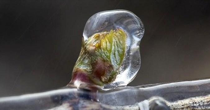 froid vignes blog vin beaux-vins oenologie gelée noire