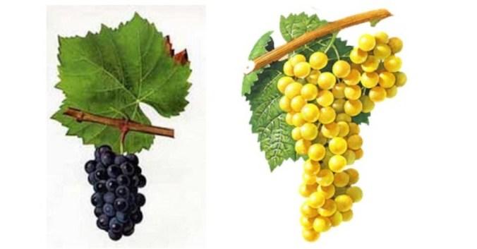 Blog Beaux-Vins dégustation déguster oenologie vin viticole vignoble beaujolais gamay chardonnay