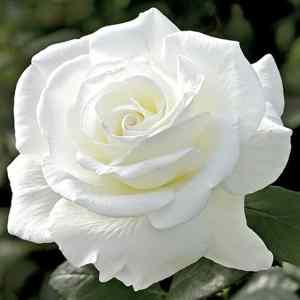 Sugar Moon Rose