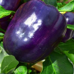 Purple Beauty Pepper