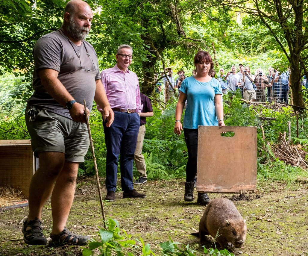 Michael Gove and Derek Gow release beavers. Credit: The Telegraph