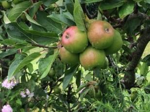 Apples in Beryl