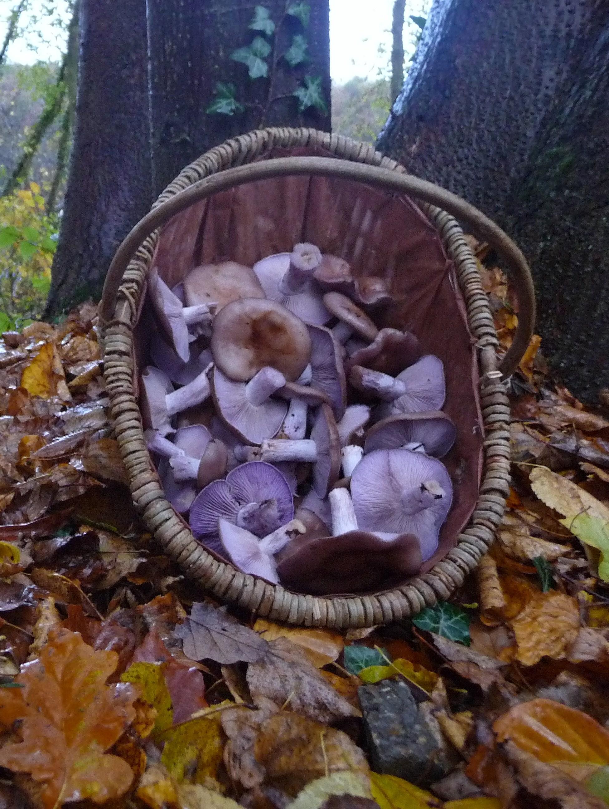 Comment Nettoyer Les Champignons Pieds Bleus : comment, nettoyer, champignons, pieds, bleus, Champignons, D'automne…, Pieds, Bleus, Quelques, Cailloux, Ruette...
