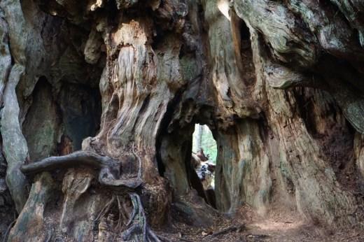Kalaloch - Big Cedar Tree