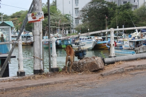 Street dog in Negombo