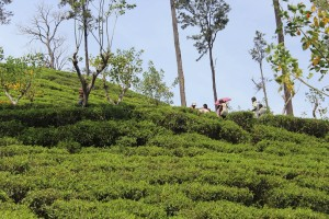 Ella tea plantations