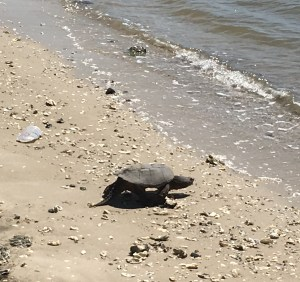 Photo of a Turtle in Morehead City, North Carolina walking next to plastic waste, just a few feet away.