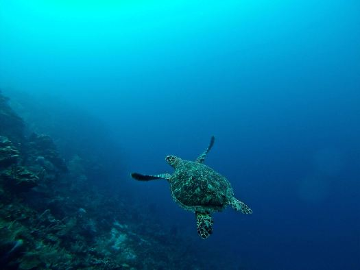Sea Turtle swimming in the ocean. Photo by Erin Simmons on Unsplash.