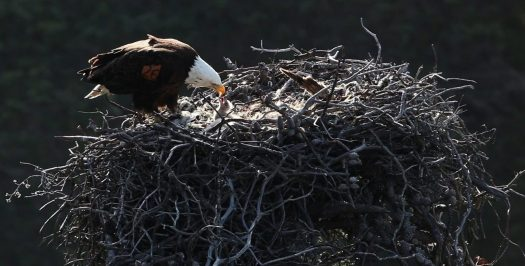 Bald eagle nest. Image by skeeze from Pixabay.