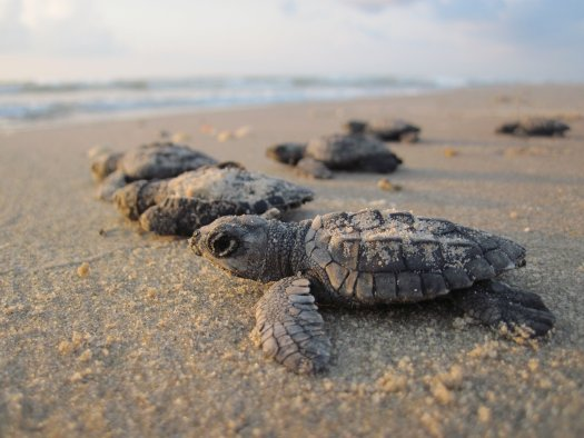 Baby sea turtles on the beach.