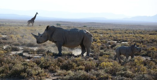 Photo of rhinoceros mother and calf in South Africa.