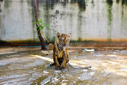 Sad photo of a tiger on a short chain sitting in shallow water.