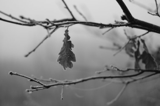 Black and white photograph of a tree branch with a single dead leaf