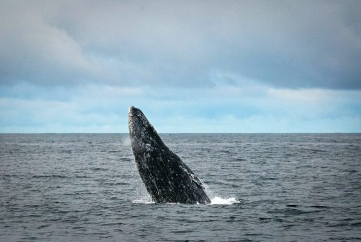 Image of a gray whale breaching