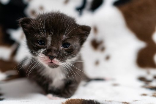 Adorable black and white kitten