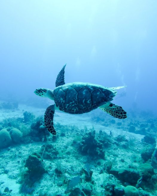 Sea turtle in the sea