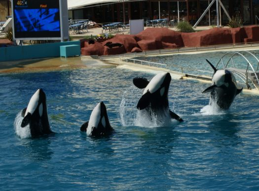 Four orcas jumping out of the water at Marineland Antibes