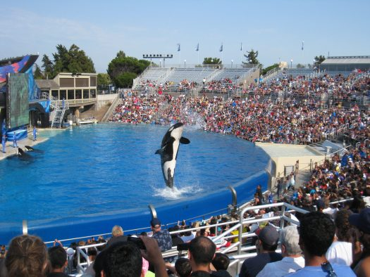 Orca jumping out of the water, performing in front of a crowd, SeaWorld San Diego