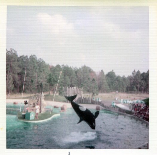 Ramu the orca flipping over the water at SeaWorld Orlando