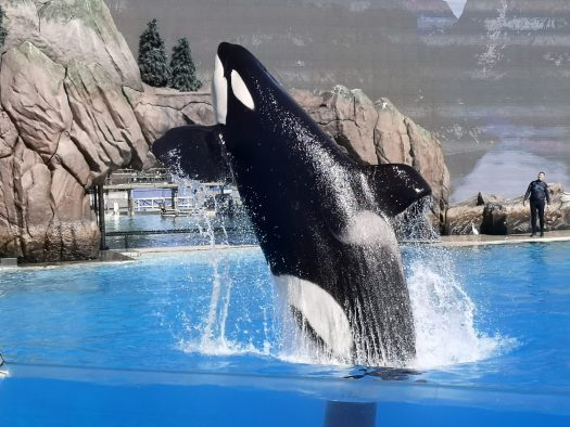 Orca performing at SeaWorld San Diego