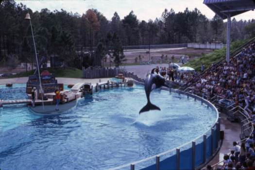 View showing an Orca whale leaping out of the water during a show at the Sea World attraction in Orlando, Florida.