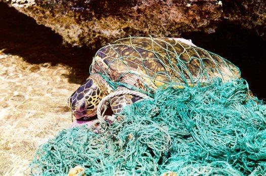 Sea turtle entangled in abandoned fishing netting.
