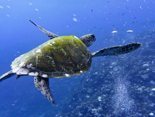 Sea turtle swimming in the ocean.