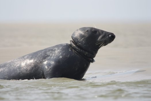 Seal with a plastic or rubber ring growing into the skin around its neck.