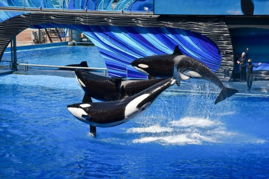Three orcas jumping out of the water at SeaWorld Orlando.
