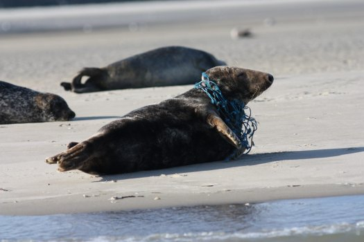 Seal on beach with nylon fishing net entangled around its neck.