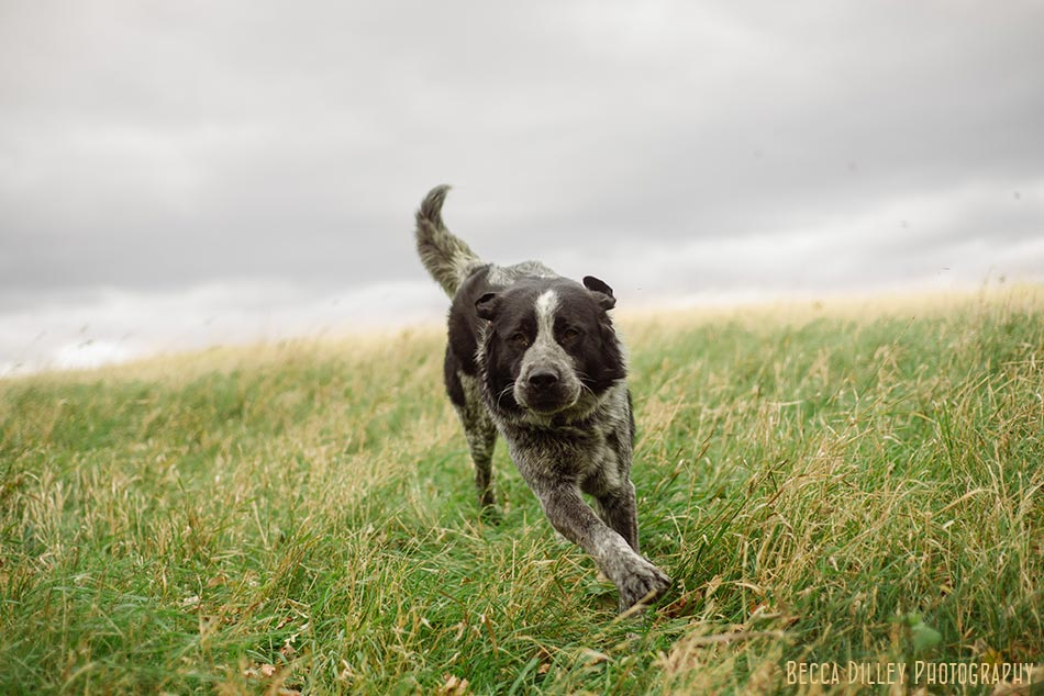 minnsota farm photographer dog running through paradox farm, ediitorial_featured