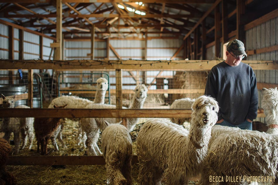 minnsota farm photographer alpacas in barn
