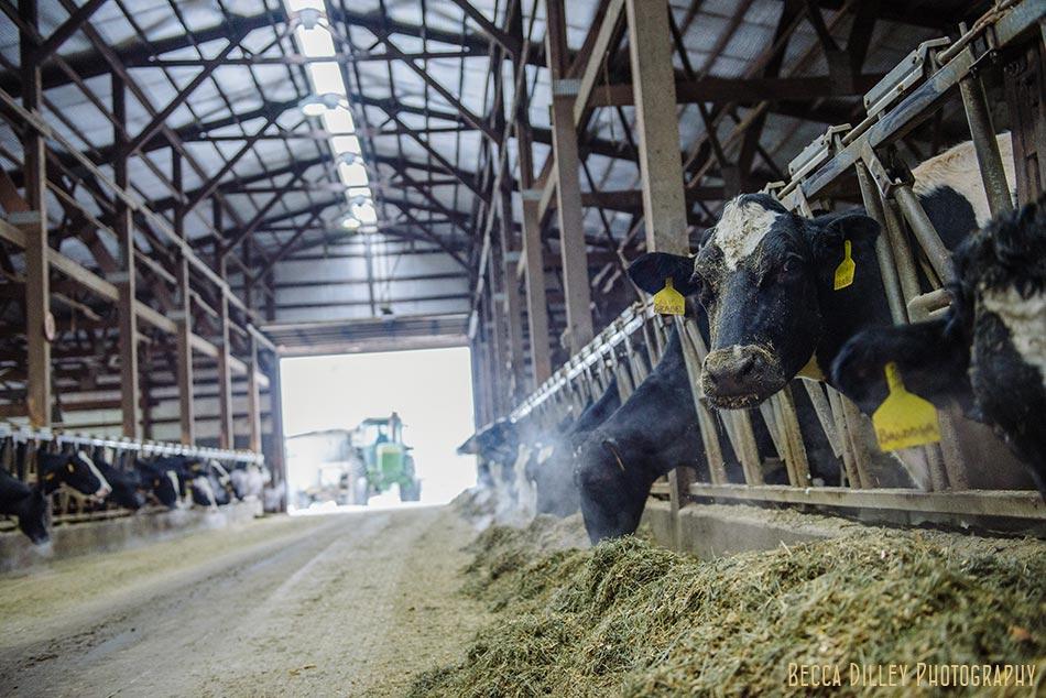 minnsota farm photographer cows in barn