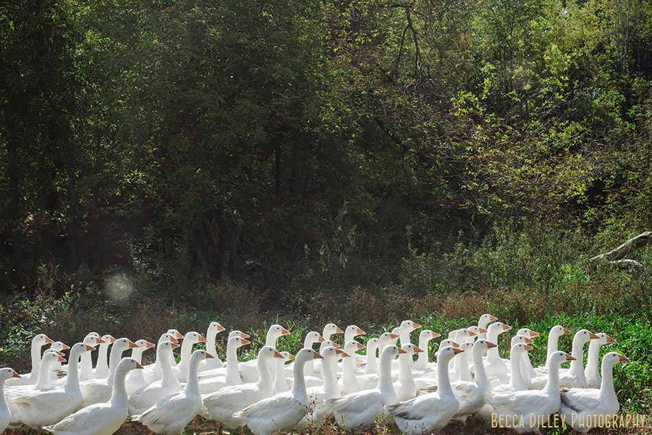 minnsota farm photographer geese in field