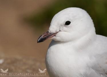 Tarapunga, the red–billed gull.