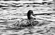 Duck, Otago Peninsula, New Zealand.