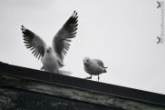 Seagulls, Portobello, Otago Peninsula, New Zealand.