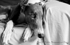 Alice - Blue and White Greyhound