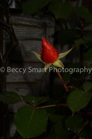 A rose A rose