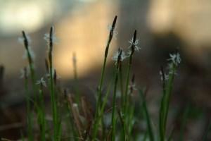 Pennsylvania Sedge  (Carex pensylvanica)  4/18/05