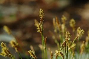 Pennsylvania Sedge  (Carex pensylvanica)  4/22/05