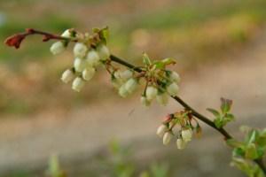 Highbush blueberry (Vaccinium corymbosum) 4/27/06