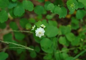 Rue anemone (Anemonella thalictroides) 9/25/06