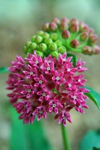 Purple Milkweed (Asclepias purpurascens) 6/27/06