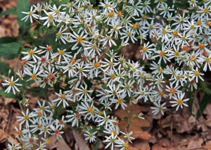 White Wood Aster (Eurybia divaricata) 9/10/06