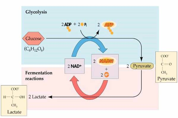 A diagram of the chemical reactions leading to lactic acid fermentation.
