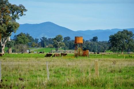Murray Grey cattle near an old Water Tank at Bonegilla, Vic