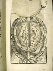 Cerebral convolutions Bartisch
